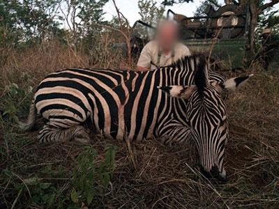 Newsletter-35-Zebra-1-new