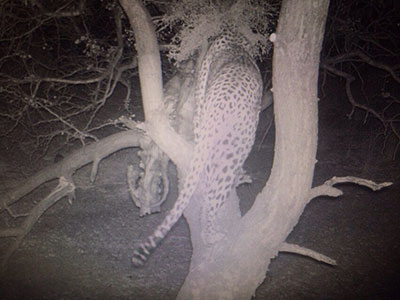 newsletter-38-leopard4