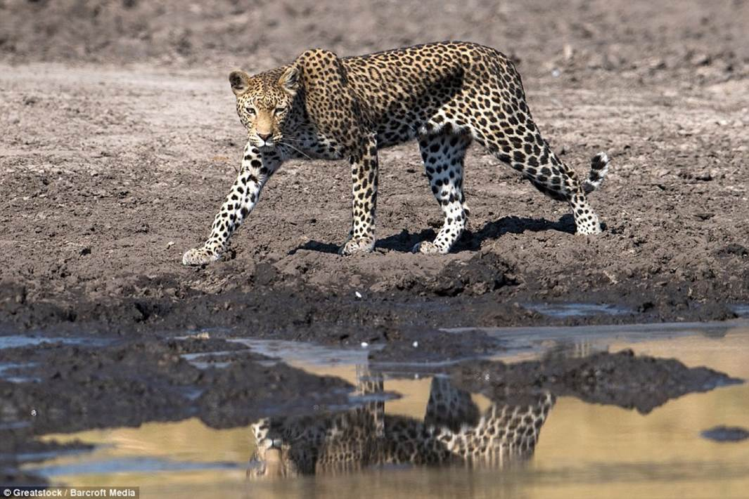 Leopard fishing 1