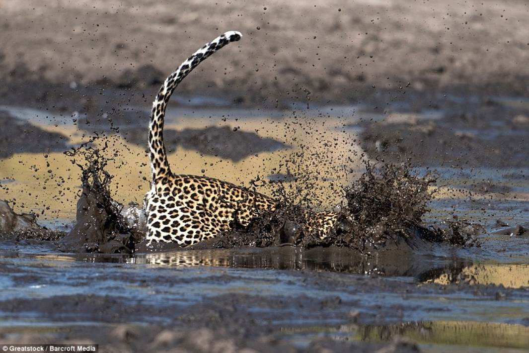Leopard fishing 3