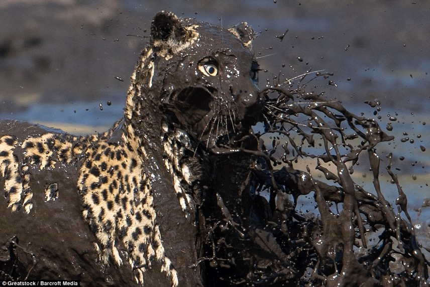 Leopard fishing 4